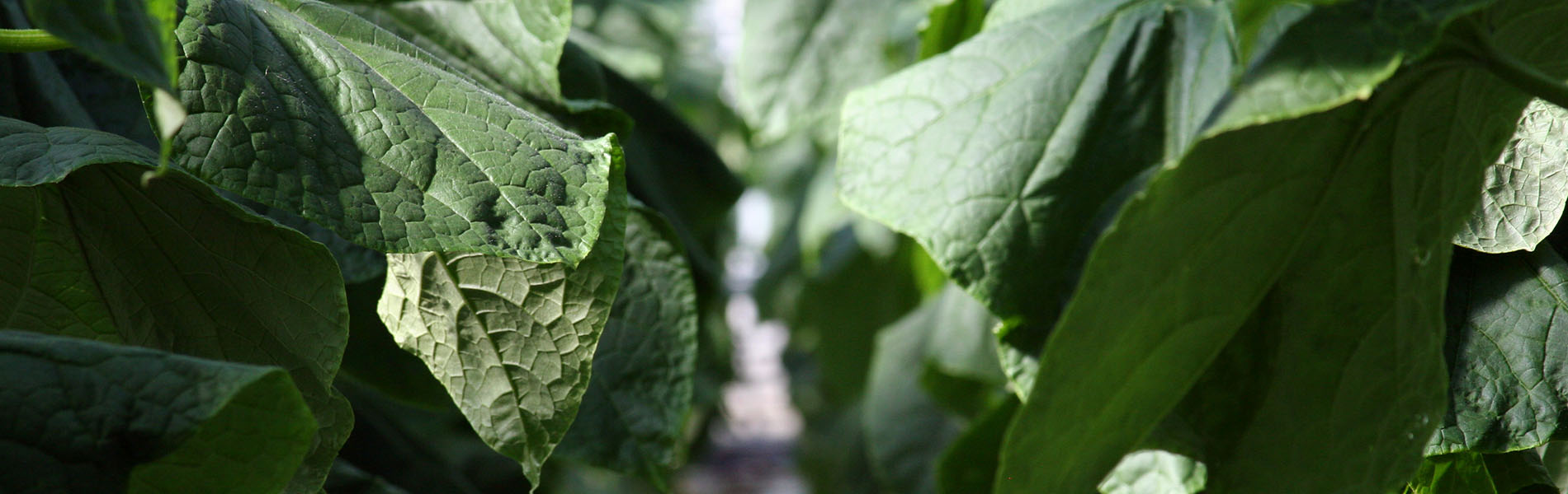 Concombres feuilles
