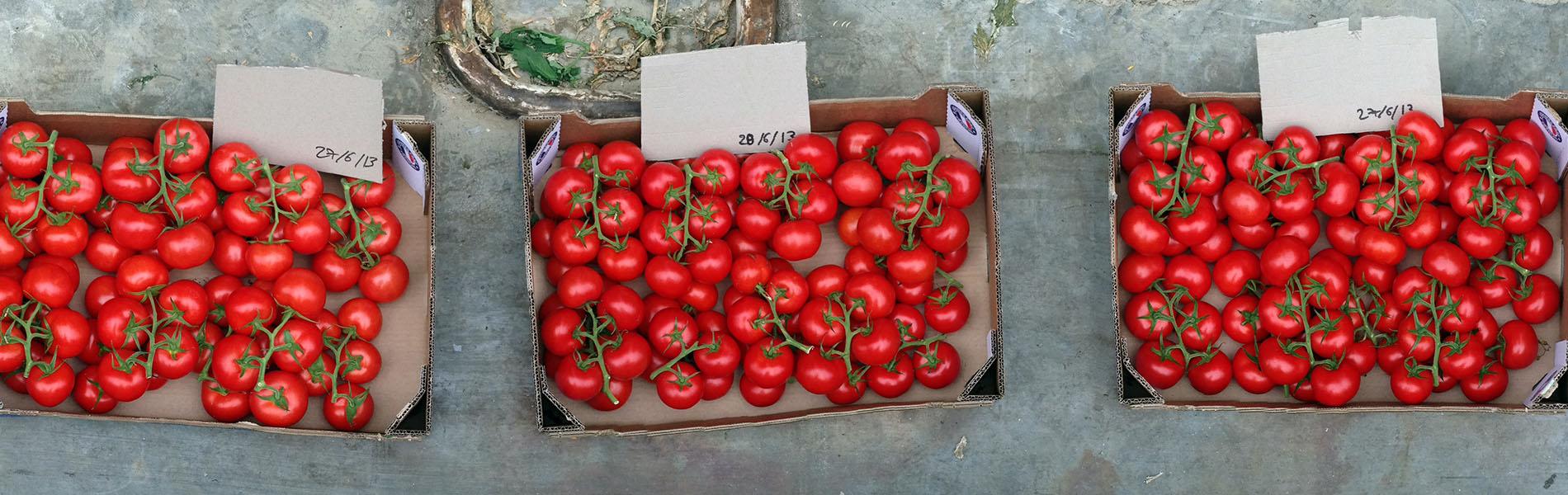 Grappes de tomates