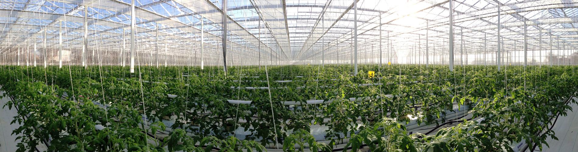 Production de tomates et concombres sous serre